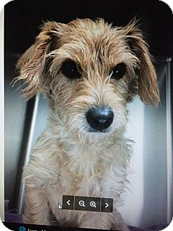 Cairn Terrier Mix Dog for adoption in Lancaster, Pennsylvania - Scruffy- Adoption Pending