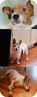 Jack Russell Terrier Dog for adoption in Chantilly, Virginia - Lucky