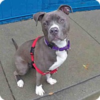 Pit Bull Terrier Dog for adoption in San Francisco, California - ASTRO