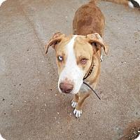 Catahoula Leopard Dog Mix Dog for adoption in DeForest, Wisconsin - Chance