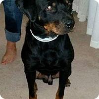 Adopt A Pet :: Thor - St Louis, MO