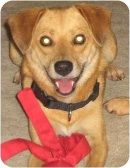 Hound (Unknown Type)/Golden Retriever Mix Dog for adoption in Cincinnati, Ohio - Harvey