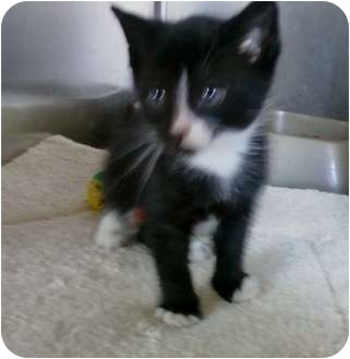 American Shorthair Kitten for adoption in Whitestone, New York - CLARK