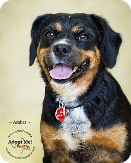 Beagle/Cavalier King Charles Spaniel Mix Dog for adoption in Phoenix, Arizona - Amber