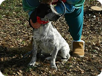 German Shorthaired Pointer/Beagle Mix Puppy for adoption in Cincinnati, Ohio - Mack: Red Bank Vet