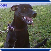 Adopt A Pet :: Moses - Miami Beach, FL