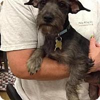 Adopt A Pet :: LUKE (Atilla) - Phoenix, AZ