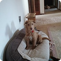 Adopt A Pet :: Trystan - Flemington, NJ