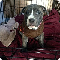 Adopt A Pet :: Gemma - bridgeport, CT