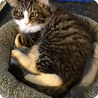 Adopt A Pet :: Gizmo - Chattanooga, TN