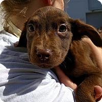 Adopt A Pet :: Begonia - Houston, TX