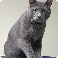 Adopt A Pet :: Shadow - Norwalk, CT