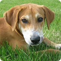 Adopt A Pet :: Duke - Schaumburg, IL