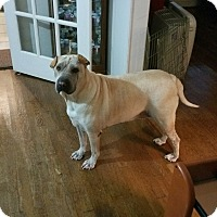 Shar Pei Dog for adoption in Houston, Texas - Grayson