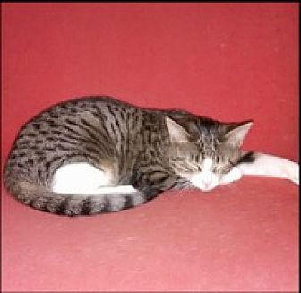 Domestic Shorthair Cat for adoption in Bainsville, Ontario - SAMMY