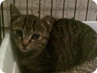Manx Cat for adoption in Alliance, Ohio - Manx - Tiger Feral