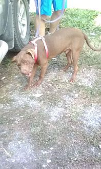 American Pit Bull Terrier/Labrador Retriever Mix Dog for adoption in Wytheville, Virginia - Freedom