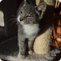 Domestic Shorthair Kitten for adoption in Richmond, Virginia - Boots