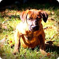 Adopt A Pet :: Mace - Glastonbury, CT