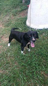 Border Collie/Terrier (Unknown Type, Medium) Mix Dog for adoption in Columbia, Kentucky - Bubba