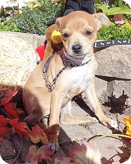 Chihuahua Mix Puppy for adoption in West Chicago, Illinois - Arrieta