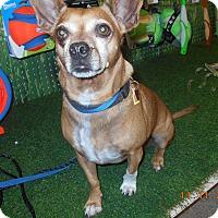 Adopt A Pet :: Josi Joe - haslet, TX