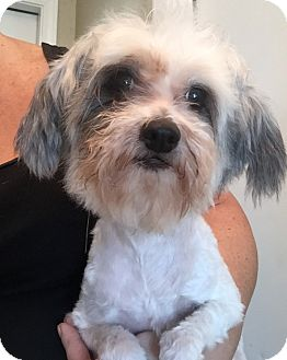 Maltese/Shih Tzu Mix Dog for adoption in St. Petersburg, Florida - Bebe