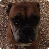 Adopt A Pet :: Zsa Zsa - Austin, TX