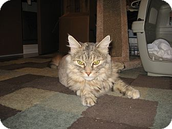 Domestic Mediumhair Cat for adoption in Laguna Woods, California - Little One