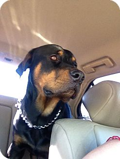 Rottweiler Dog for adoption in Gilbert, Arizona - Sadie