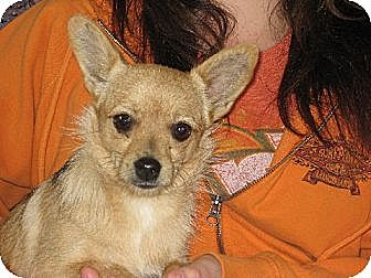 Pomeranian/Chihuahua Mix Dog for adoption in Salem, New Hampshire - Our little Cupcake Courtney