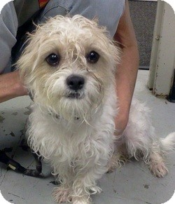 maltese yorkie mix rescue clark adopted dog 26581132 orland park il yorkie 9986
