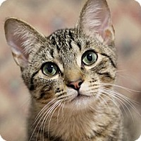 Domestic Shorthair Cat for adoption in Chicago, Illinois - Rigby