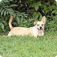 Chihuahua/Dachshund Mix Dog for adoption in Rock Hill, South Carolina - Sugar Foot