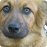 Adopt A Pet :: Peggy Sue - Brattleboro, VT