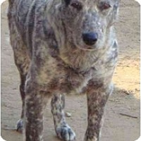Adopt A Pet :: Cattle Dog - Fowler, CA