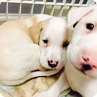 Adopt A Pet :: A Puppies - Jupiter, FL