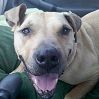 Pit Bull Terrier/Bull Terrier Mix Dog for adoption in Seahurst, Washington - Honey Bear