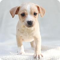 Adopt A Pet :: Cricket - Loomis, CA