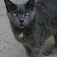 Domestic Shorthair Cat for adoption in Bonita Springs, Florida - Boots