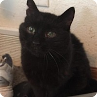 Domestic Mediumhair Cat for adoption in Kohler, Wisconsin - Garcia