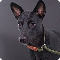 Adopt A Pet :: Bella - Sudbury, MA