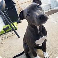 Adopt A Pet :: Lorelai - Dayton, OH