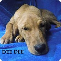 Adopt A Pet :: DeeDee - Batesville, AR