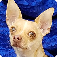 Chihuahua Dog for adoption in Cuba, New York - Buddy Jose