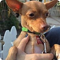 Adopt A Pet :: Brownie - Encino, CA