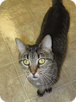 Domestic Shorthair Cat for adoption in Toledo, Ohio - Liz
