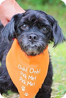 Lhasa Apso/Spaniel (Unknown Type) Mix Dog for adoption in Fort Atkinson, Wisconsin - Eugene