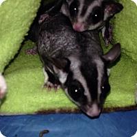 Adopt A Pet :: Rockstar (bonded to Sierra) - Phoenix, AZ