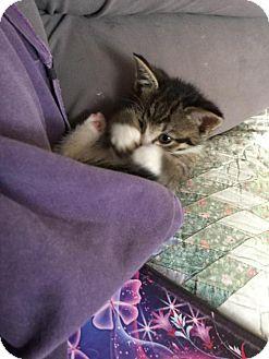 Domestic Shorthair Kitten for adoption in Harrisburg, Pennsylvania - Ninja (baby boy)